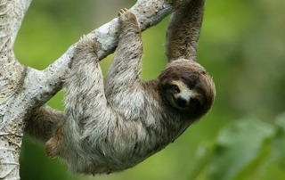 Three-Toed Sloth just like the ones Isla Culebra on the Amador Causeway