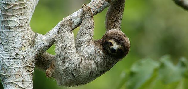 Three-Toed Sloth just like the ones Isla Culebra on the Amador Causeway
